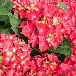 Hydrangea macrophylla Red Beauty (PBR) (H)